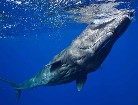 гигантский кит