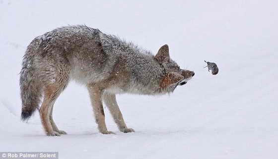 Мышь и койот