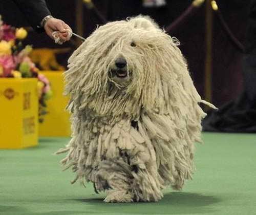 Весьма необычная порода собак - комондор тоже принимает участие в американской выставке