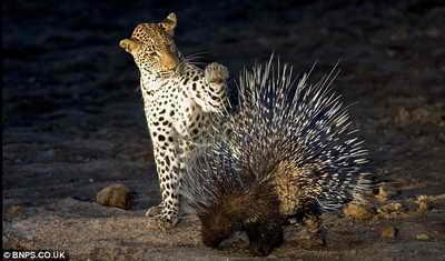 Леопард и дикобраз