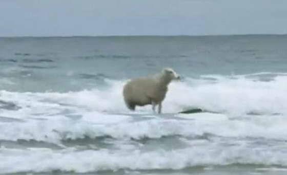 Милдред - овца-серфингист из Великобритании