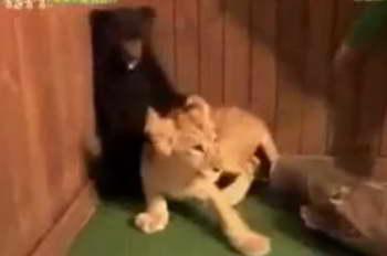 Медведь и лев