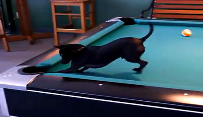 Собачка чихуахуа чемпион в бильярде