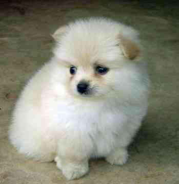 Очень пушистая порода маленьких собак