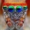 Гипнотический взгляд маленьких пауков-скакунов крупным планом
