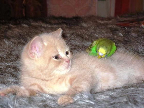 Фото милой дружбы котенка и попугая