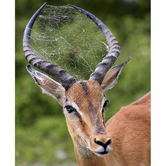 Паук разместился на антилопе