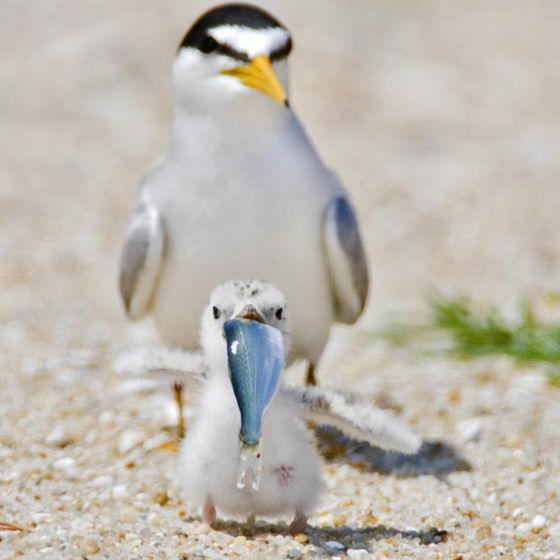 Птенец чайки