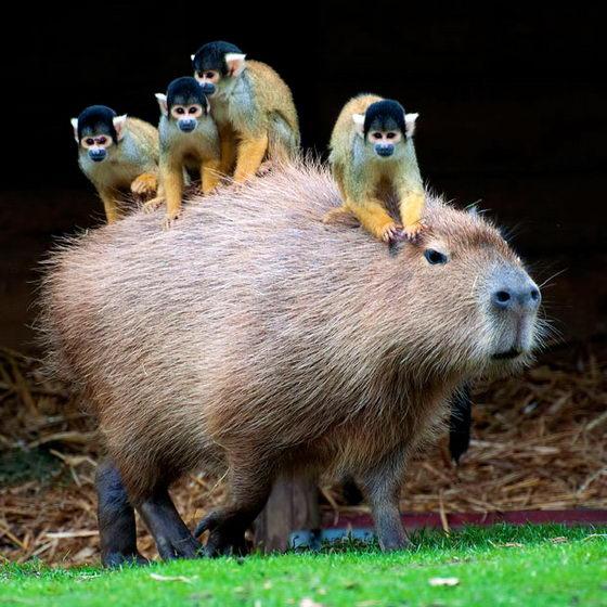 Озорные обезьянки на капибара