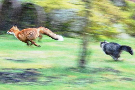Кошка гоняет лису