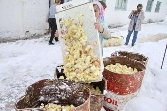 убийство цыплят