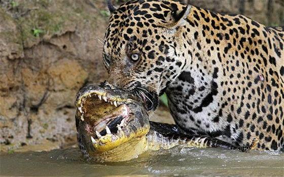 Война хищников ягуар против каймана
