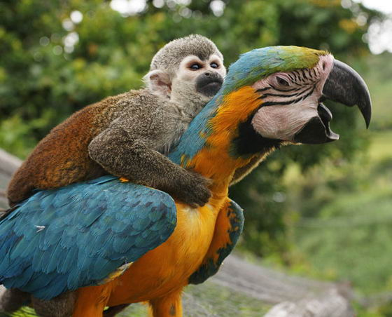 Обезьянка на попугае