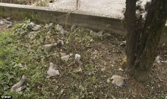 Мертвые голуби в городе Фаенца