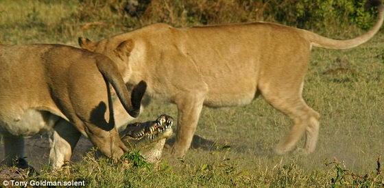 Львицы кружат около крокодила