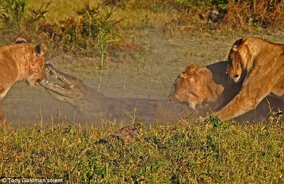 Львицы набрасываются на хищника