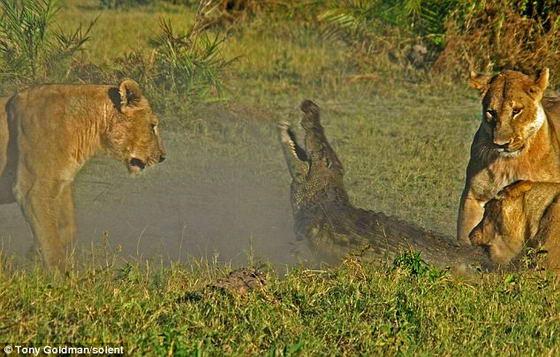 Львица кусает крокодила