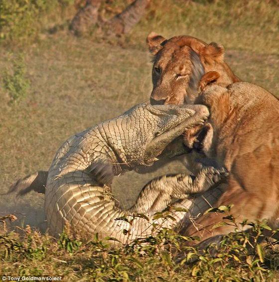 Крокодил кусает львицу