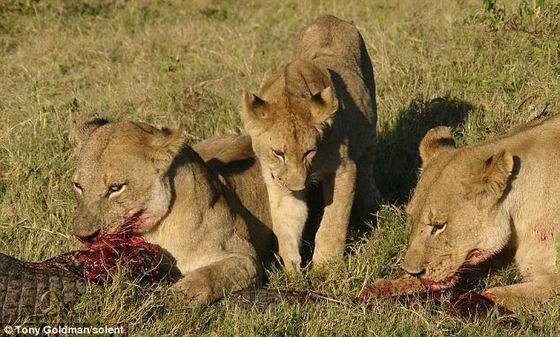 Еда для львят