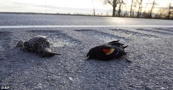 Мертвые птицы в Луизиане