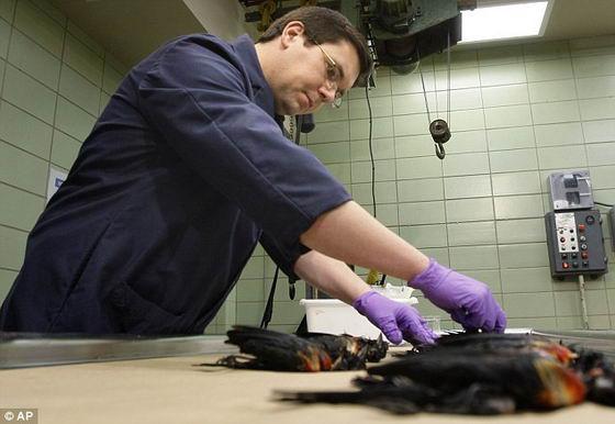 Вскрытие мертвых птиц в лаборатории