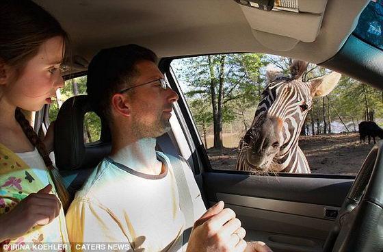 Зебра в фургоне