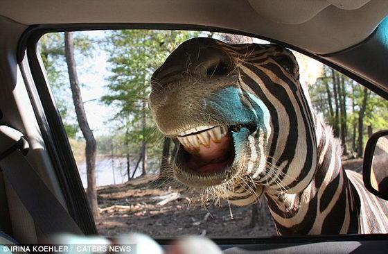 Прикольная зебра
