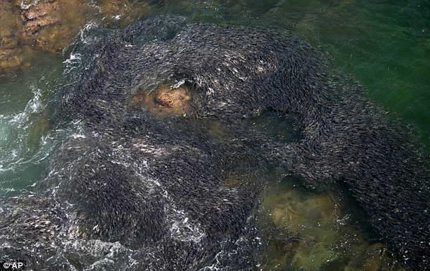 огромная стая рыбы