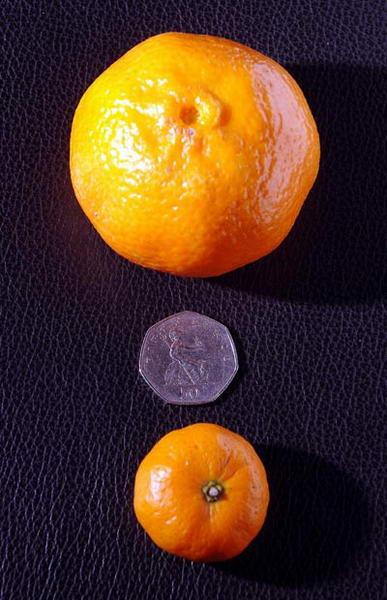 Крошечный мандарин