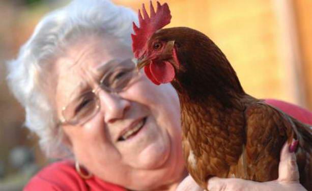 курица-гермафродит