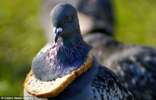 смешной голубь с хлебом вокруг шеи