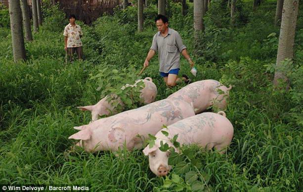 смешные свиньи