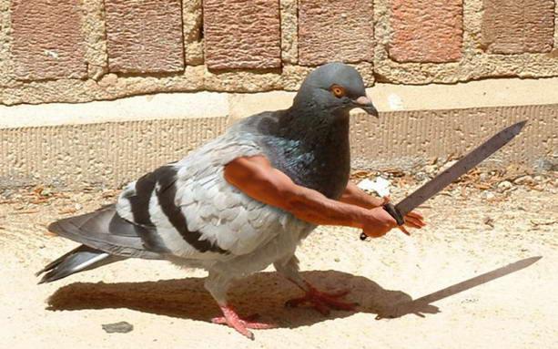 Кому нужны крылья голубь гладиатор