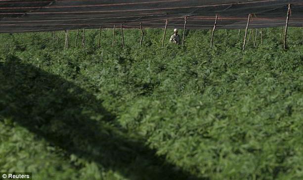 поля марихуаны