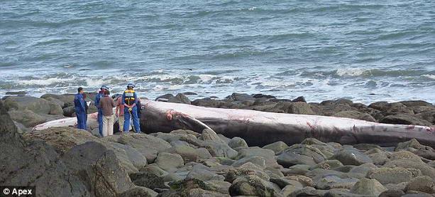 сельдяной кит