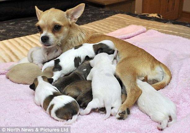чихуахуа родившая 10 щенков в Книге рекордов Гиннеса