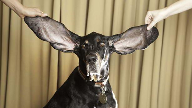 собака с самыми длинными ушами в мире
