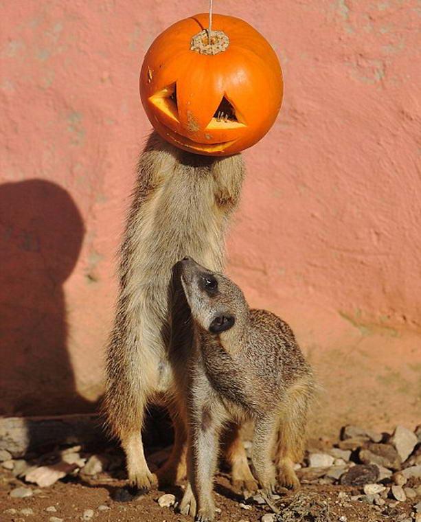 сурикаты празднуют Хэллоуин