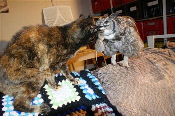 Сова и кошка