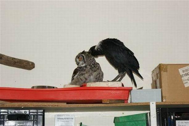 Сова и ворон
