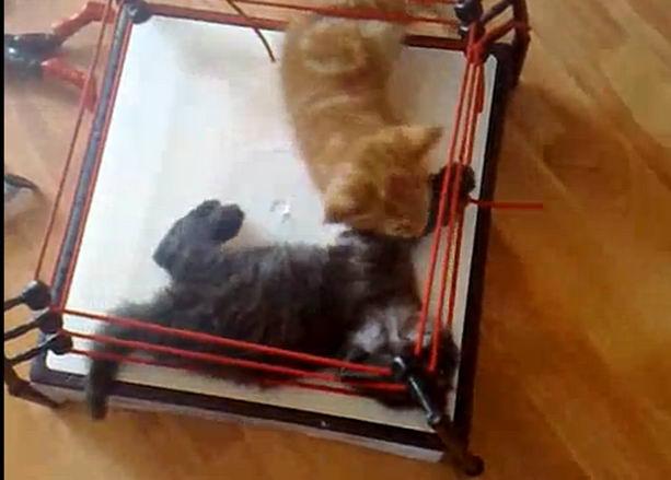 Кошачья борьба