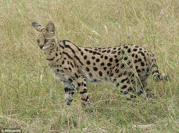 африканская дикая кошка (сервал)