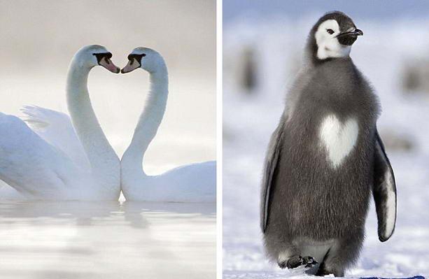 Два лебедя пингвин