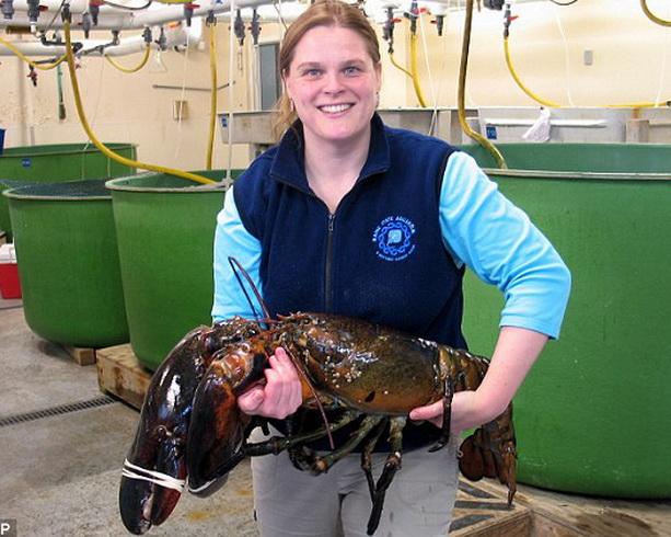 огромный омар весом 12 кг и ростом 103 см