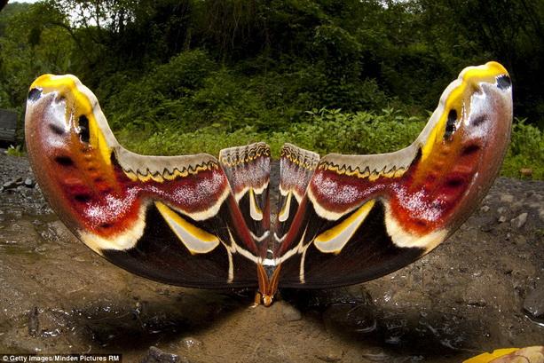 В мире бабочка живет в гималаях