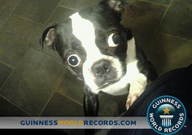 собака с самыми большими глазами в мире
