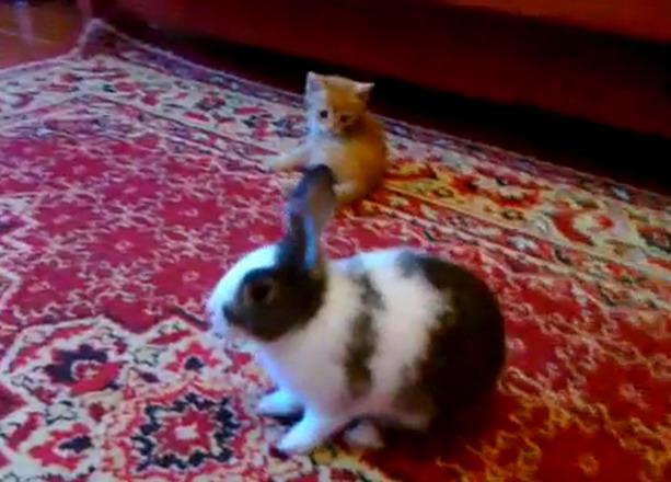 котенок против кролика
