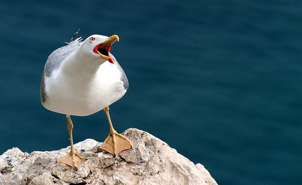 наглая чайка