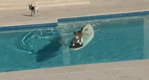 Кот серфер обманул собаку