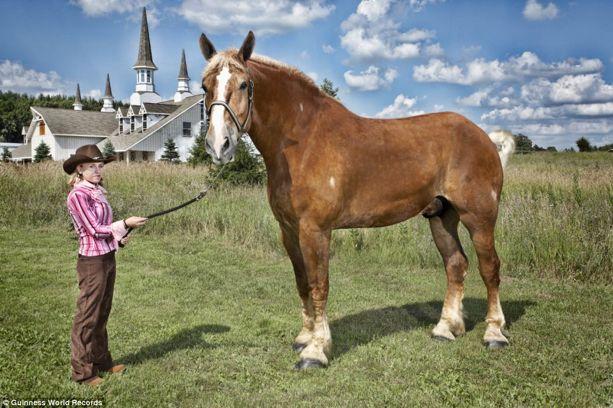 Самая большая лошадь